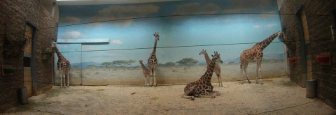Baby Giraffes, Bronx Zoo.